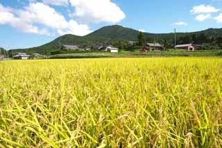 稲作イメージ